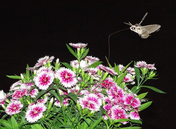 sfinx-colibri